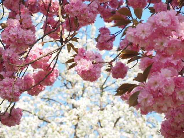 cherry-blossom-1260675_1920